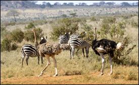 zebra and ostrich relationship